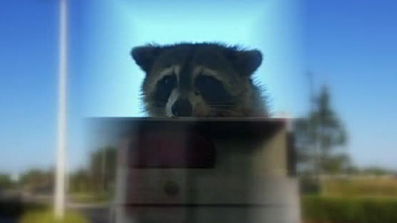 wptv-raccoon-wild-ride.-.jpg