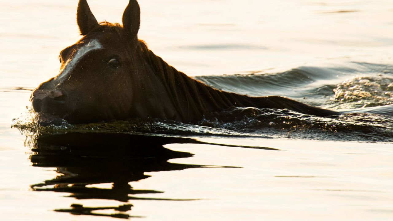 Three mares donated to Chincoteague Island