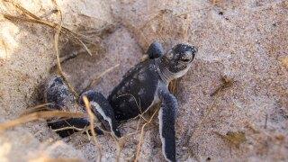 Sea turtle nesting season begins
