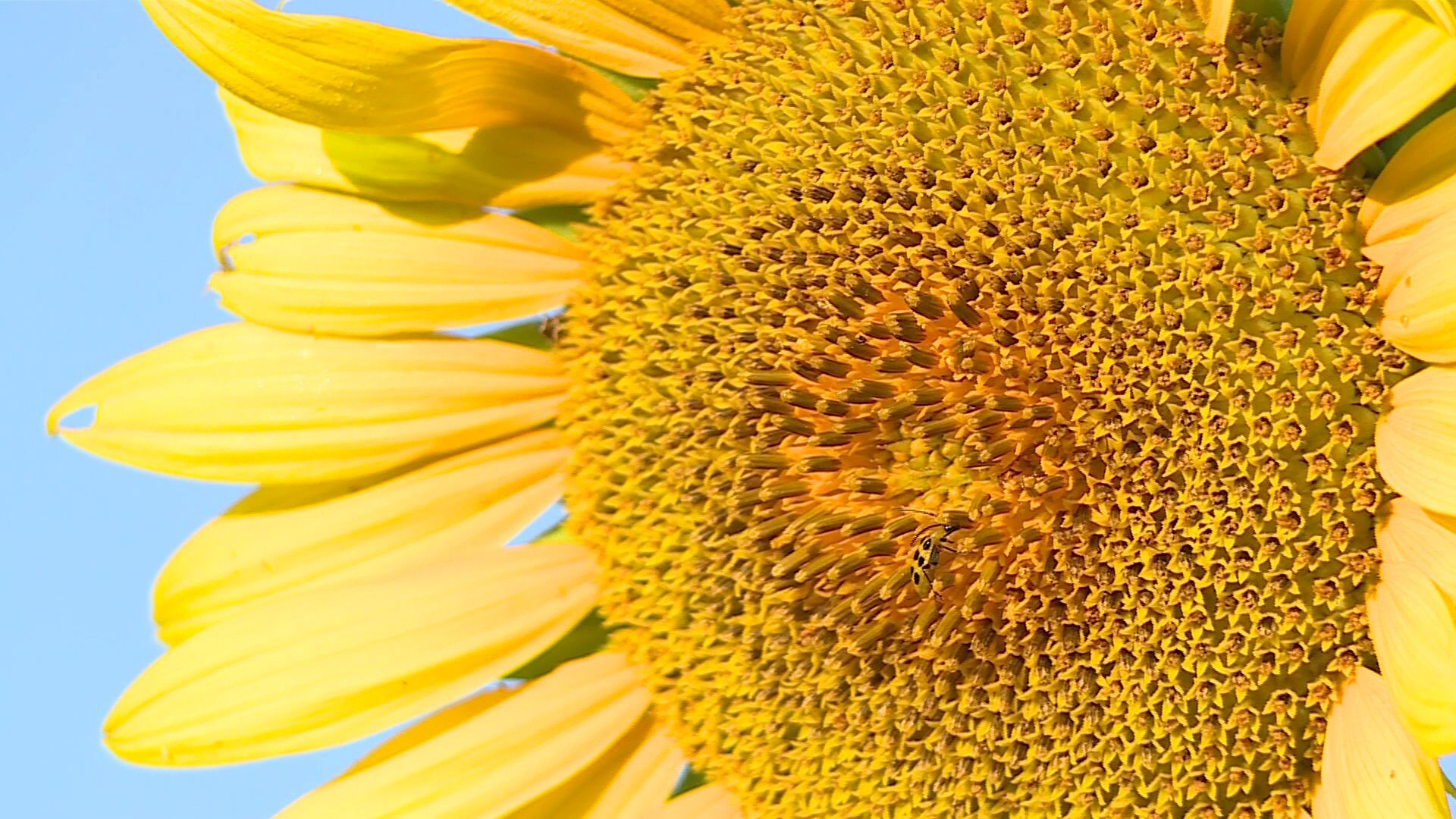 Photos: 🌻Walk through rows of towering flowers at first-ever Goochland Sunflower Festival