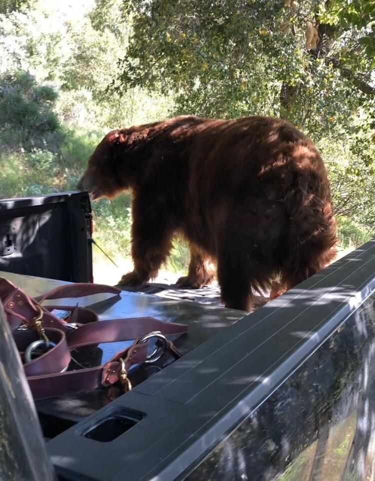 Solvang bear 3.JPG