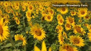 Wis. farmer plants 2 million sunflowers to help brighten challenging year, WISN reports