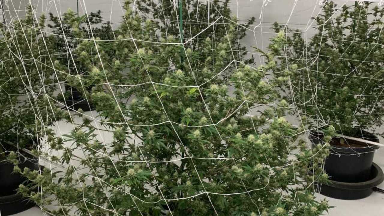 Illegal grow in Pueblo West