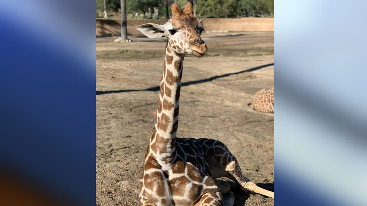 Baby Giraffe Euthanized After Being Gored At San Diego Zoo Safari Park