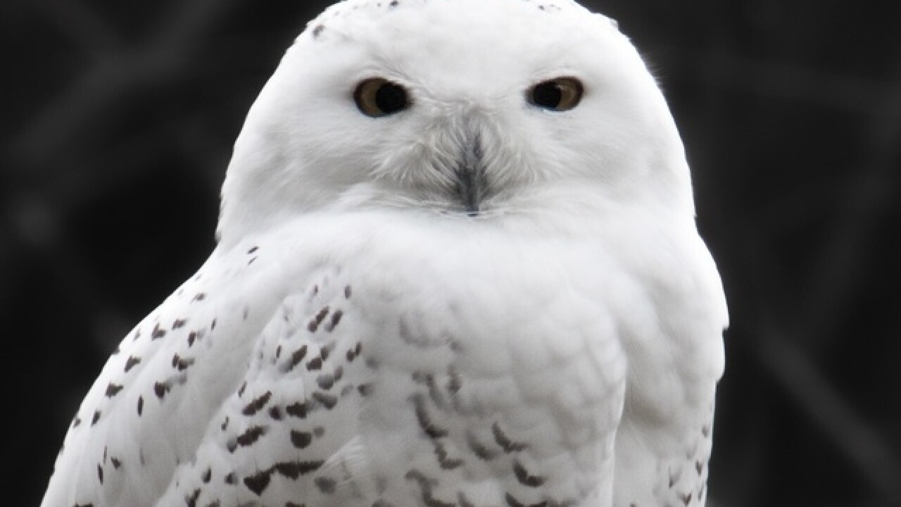 Rare Snowy Owl Spotted At Great American Ball Park