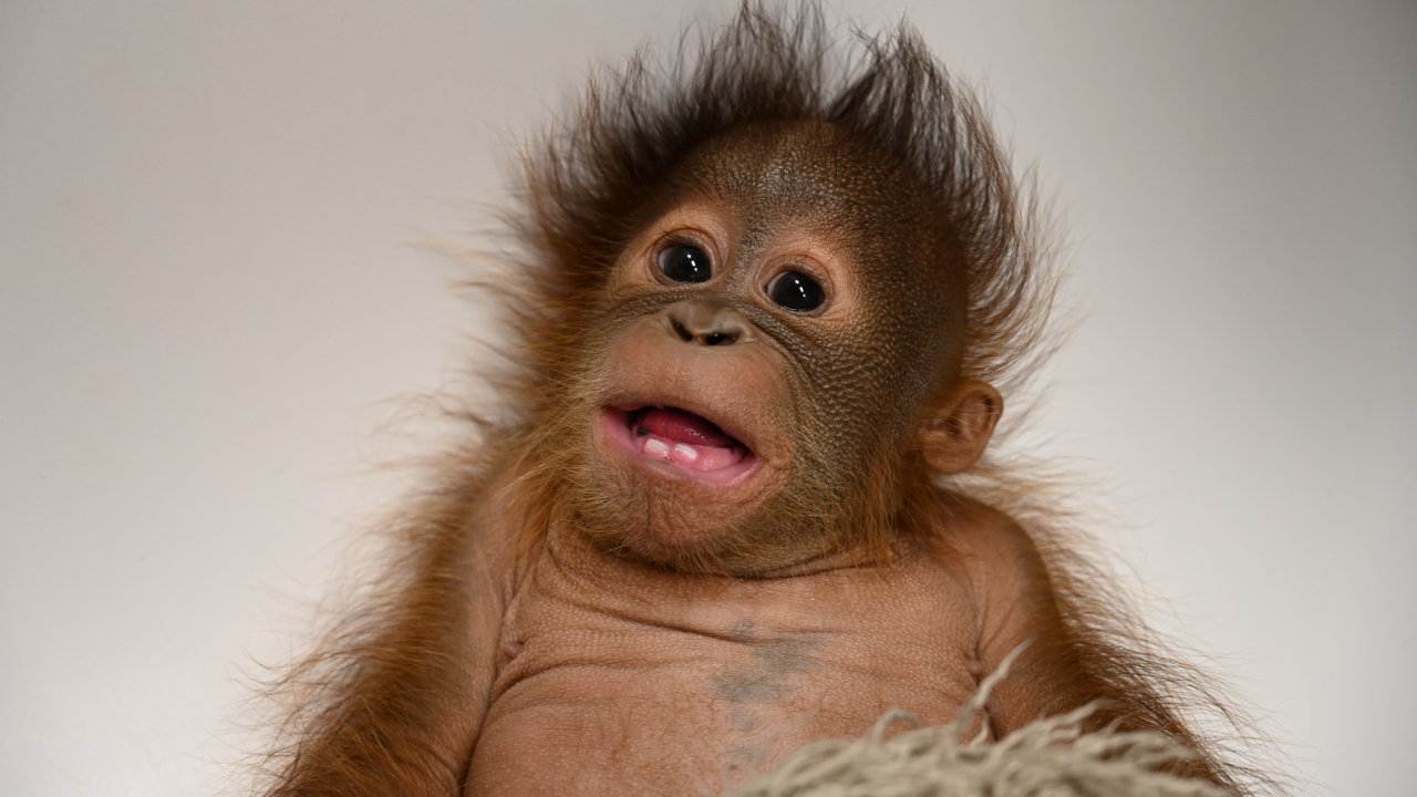 Baby Oragutan Metro Richmond Zoo 1.png