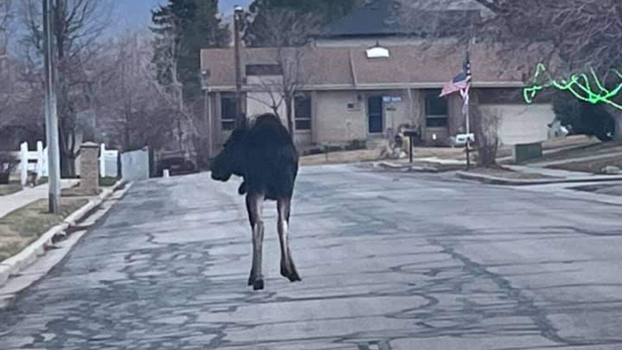 moose in centerville (3).jpg