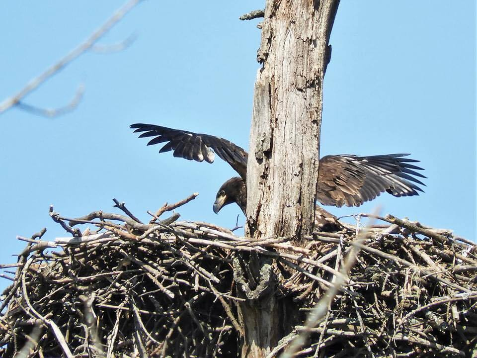 Mentor Marsh eaglet stretching its wings on Friday. Mentor Marsh State Nature Preserve, 6/12/20