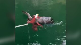 An octopus caught a bald eagle in a death grip. Thanks to some salmon farmers, the eagle survived.