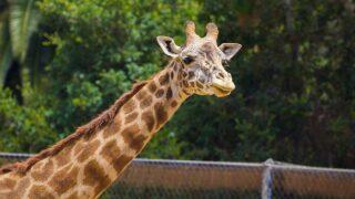 Two endangered giraffes pregnant at Santa Barbara Zoo