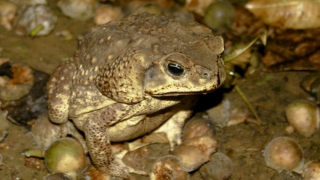 Toxic bufo toads that can kill your pet in just minutes reported in Central Florida