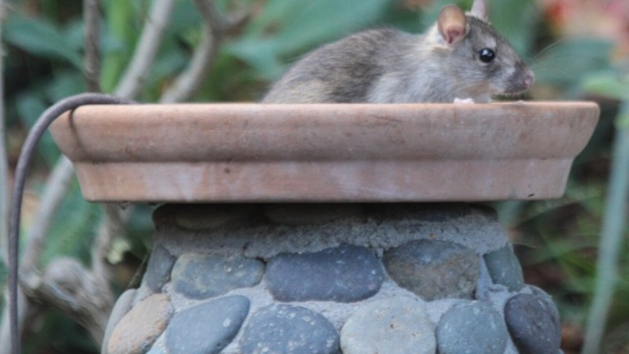 Eww! 7 repulsive things about roof rats