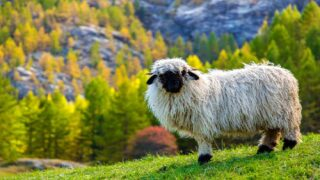 This Breed Of Sheep Looks Just Like An Adorable Stuffed Animal