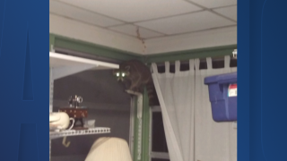 racoon-rescue-in-tampa.png