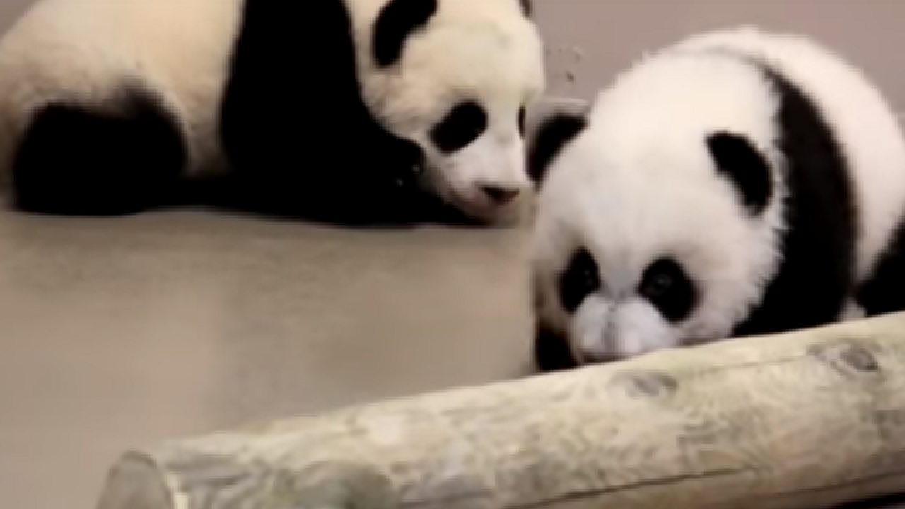 Watch Baby Pandas Can T Exactly Walk Yet