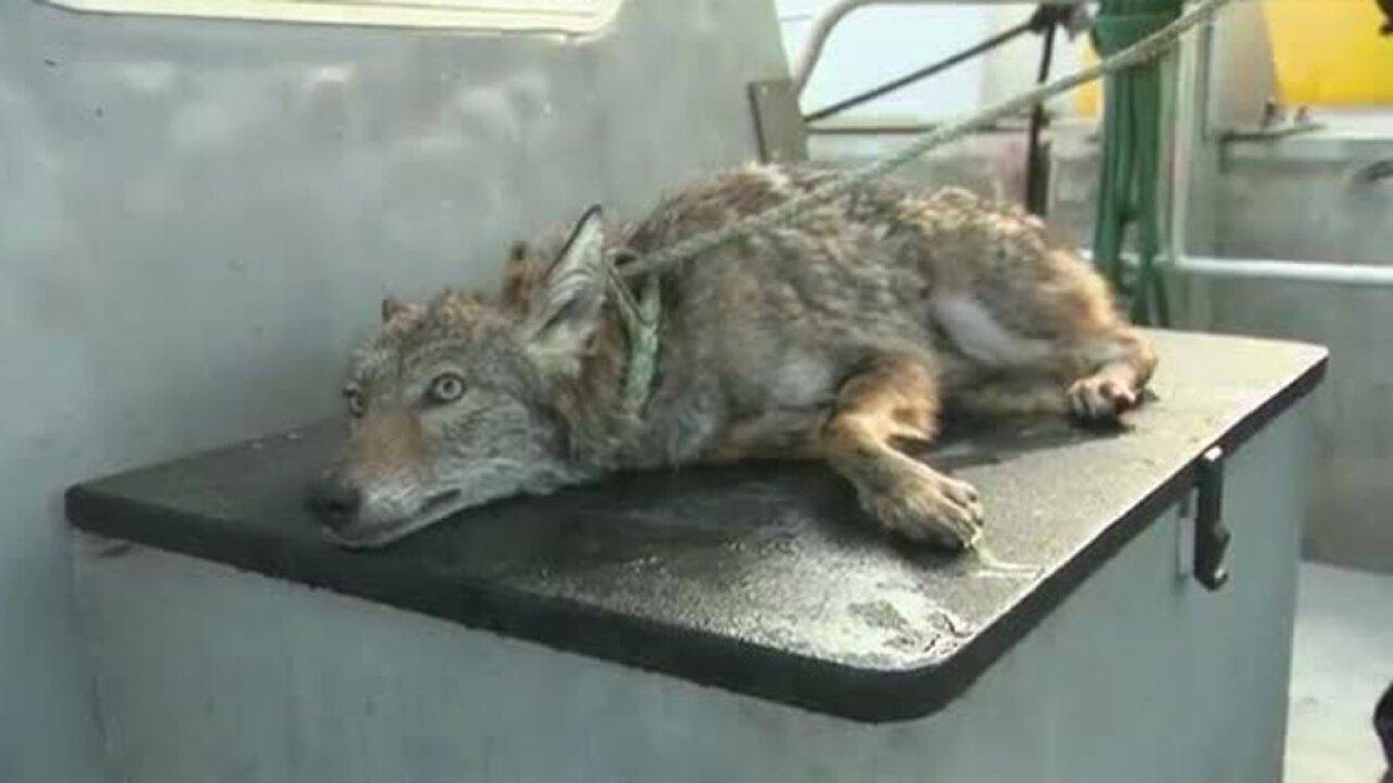wptv-coyote-rescue-.jpg