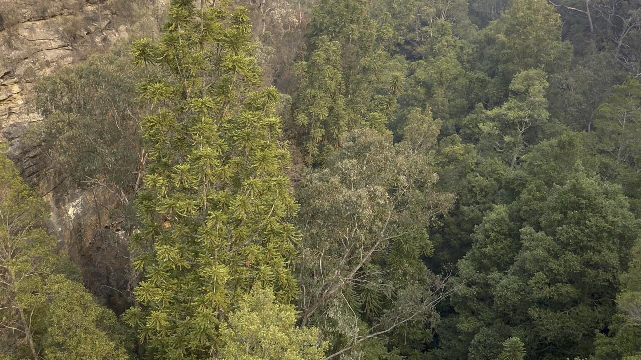 Australia Dinosaur Trees
