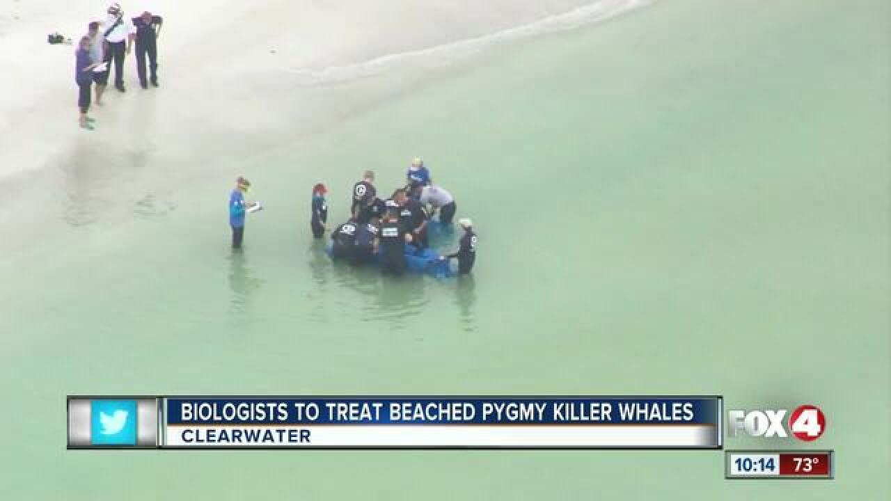 Crews working to help two distressed whales
