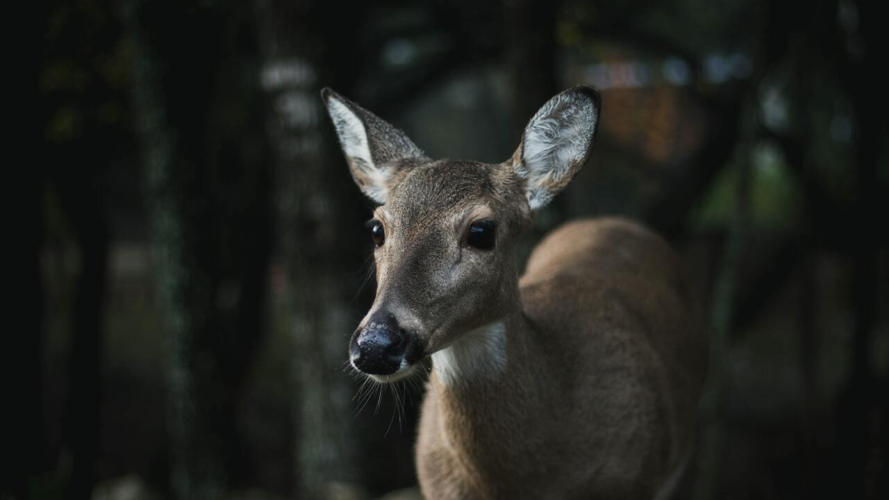 deer doe stock photo