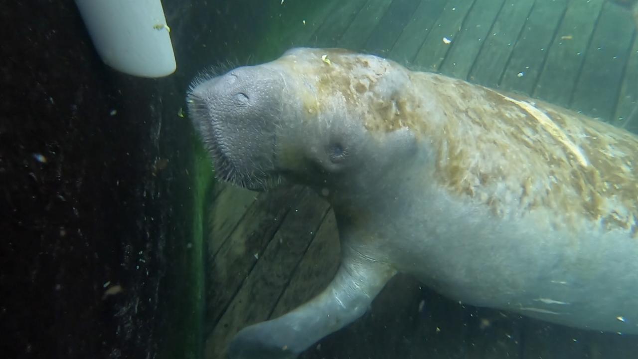 manatee-clearwater marine aquarium (1).png