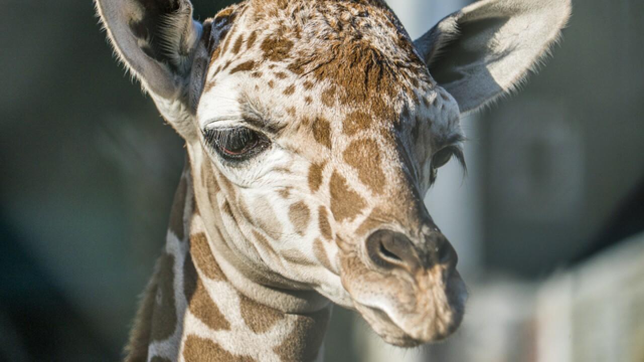 Busch Gardens Tampa Bay welcomes baby giraffe