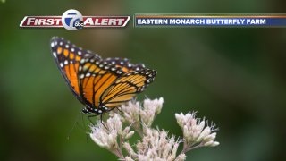 Monarch butterflies about to embark on epic trip