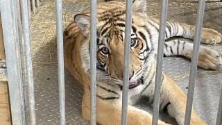 India Houston Tiger