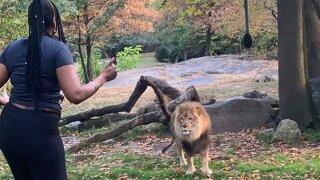 Woman jumps enclosure at Bronx zoo, taunts lion