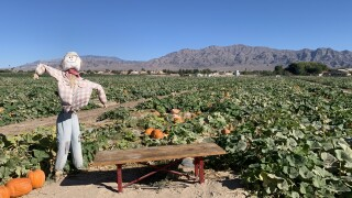 Las Vegas pumpkin patches thriving, despite pandemic