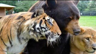 A Lion, A Tiger And A Bear Were Rescued Together As Cubs—and Became Best Friends
