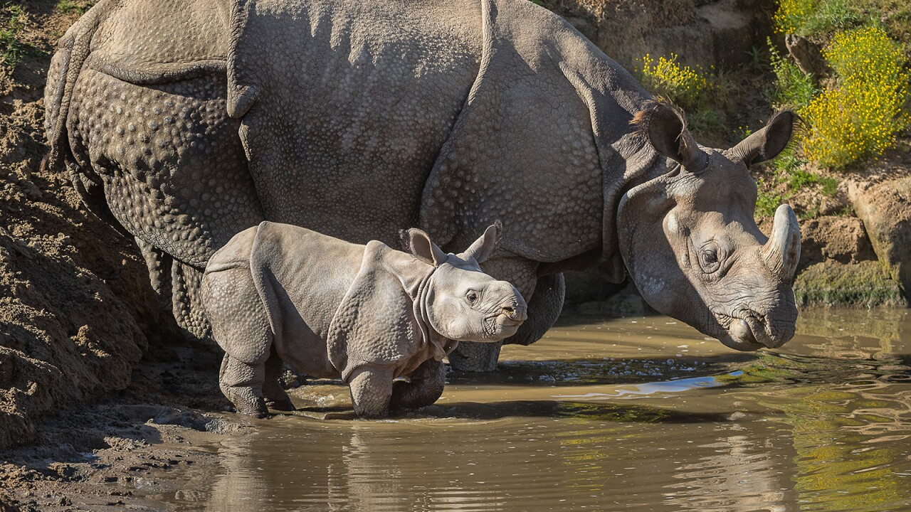Greater one-horned rhino Tanaya, with her female calf at San Die