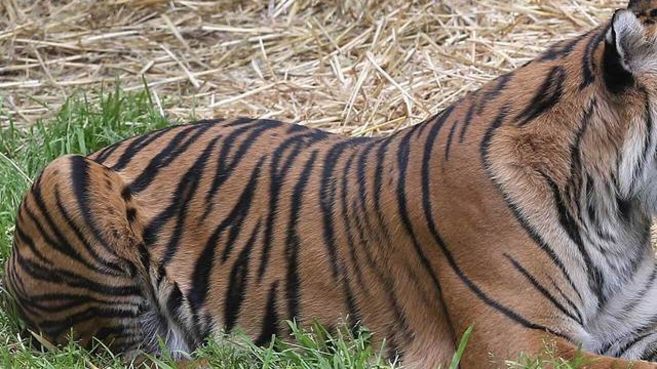 Tiger dead after mating incident at Springs zoo