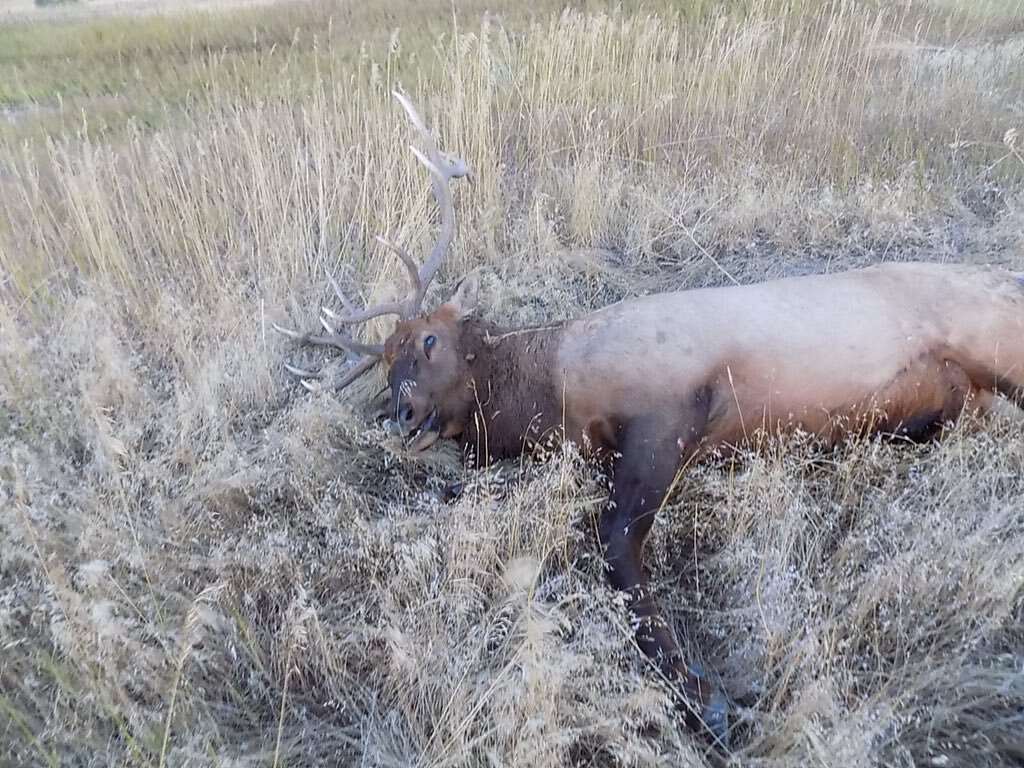 Courtesy MHP: Elk hit by driver