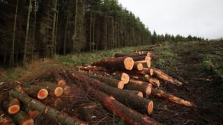 Thousands Of Trees Felled To Halt Spread Of Sudden Oak Death