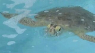 Loggerhead Marinelife Center works to protect wildlife after red tide confirmed off Palm Beach Co.