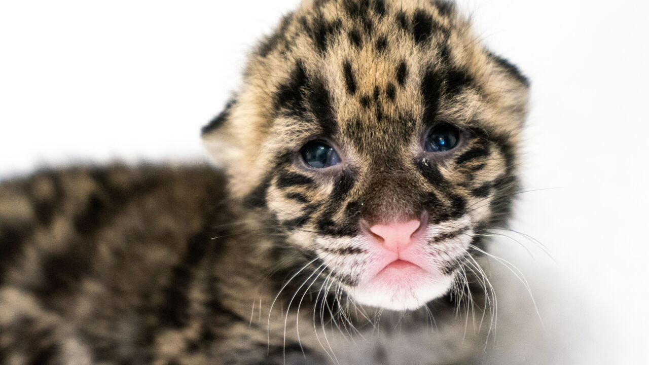 Clouded leopard Blake W. Smith.jpeg