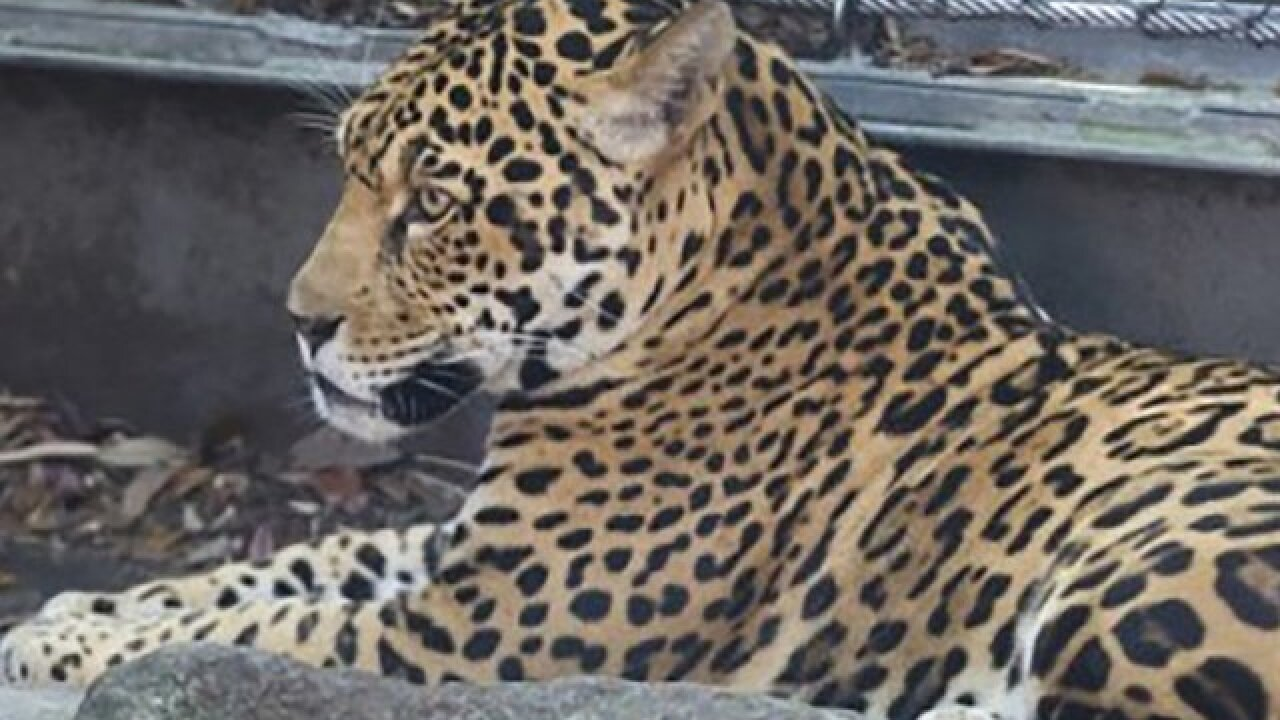 9th animal dies after a jaguar escaped its enclosure at the Audubon Zoo in New Orleans