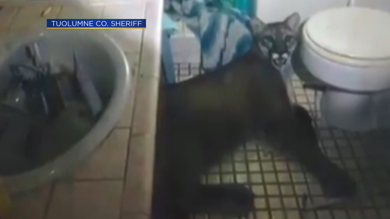 Police were called to a California home. They found a mountain lion trapped in the bathroom.