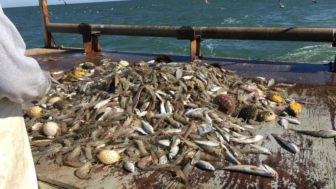 Local fishermen approved to trawl commercially off coast of VirginiaBeach