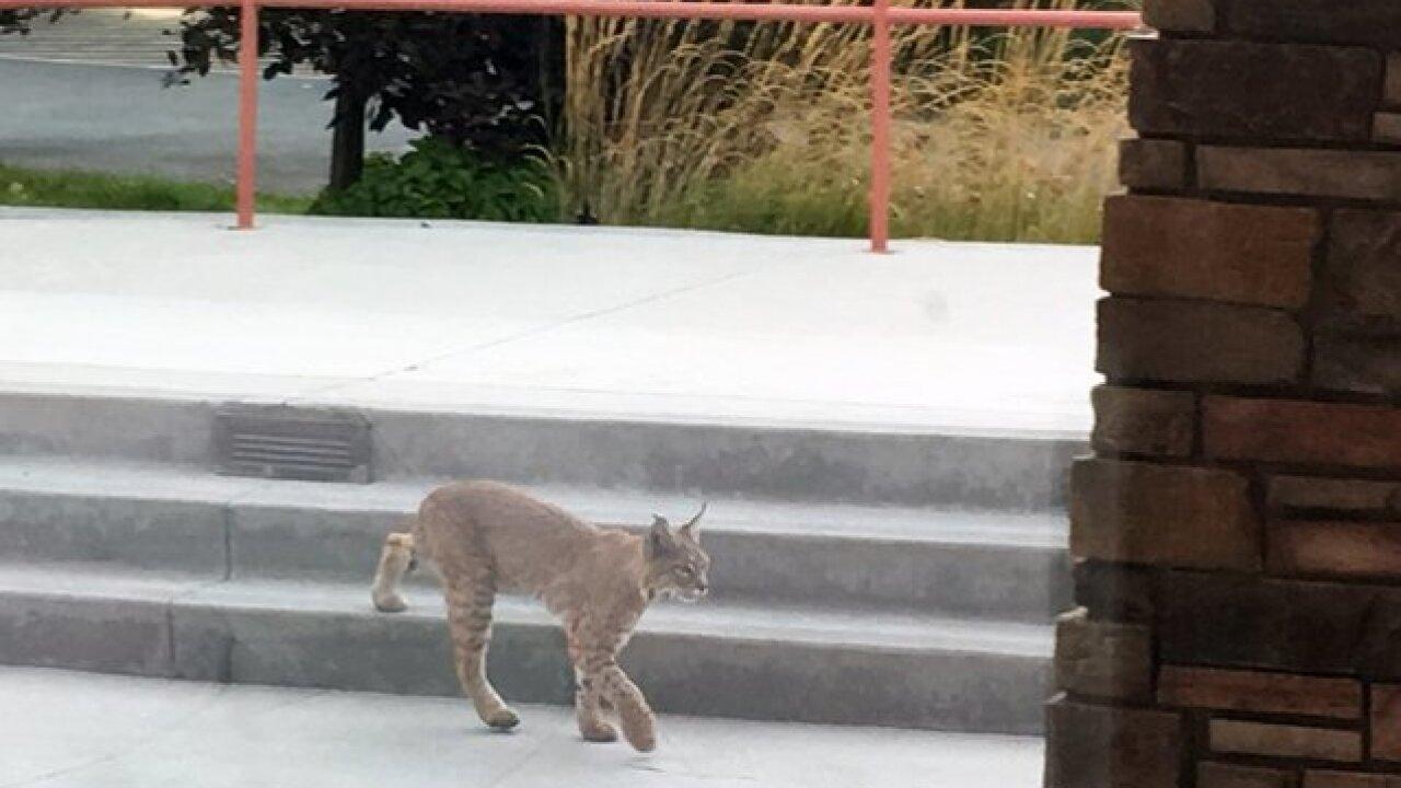 Bobcat makes surprise visit to Barber Park
