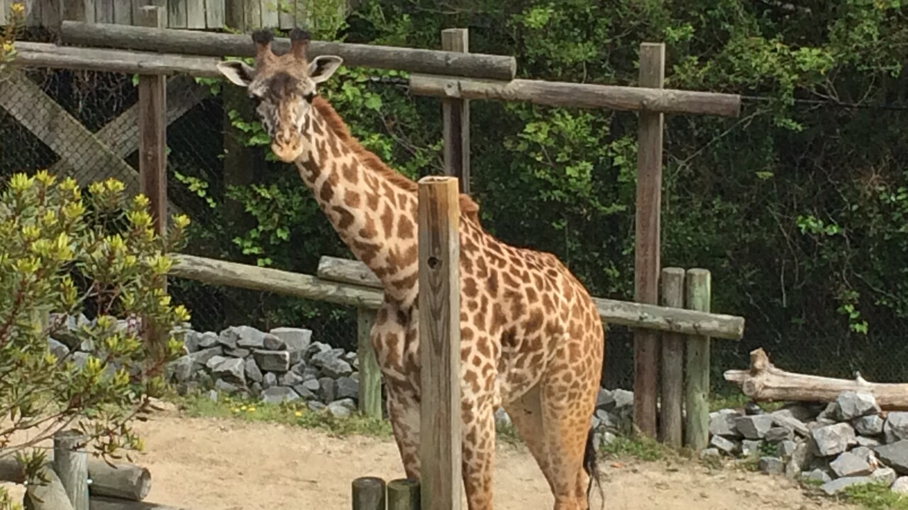 Move over April, the Virginia Zoo giraffes have a following of theirown