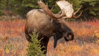 moose.png