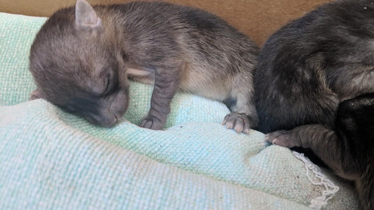 san diego humane Neonate Grey Fox Rescue HLE-5.jpg