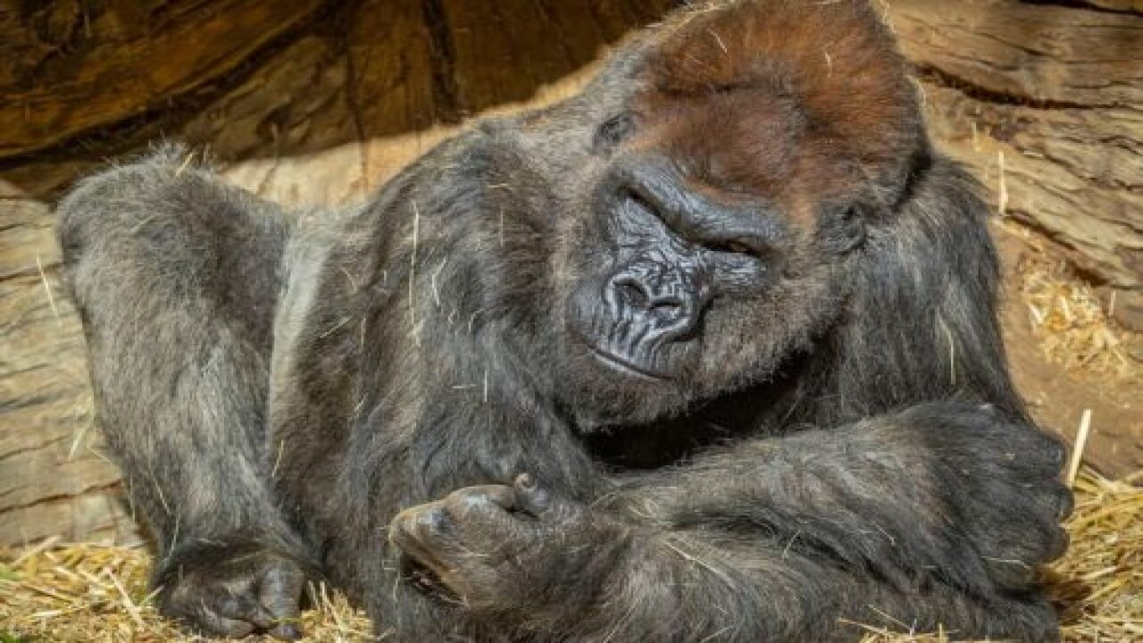San Diego Zoo Gorillas Test Positive For COVID-19