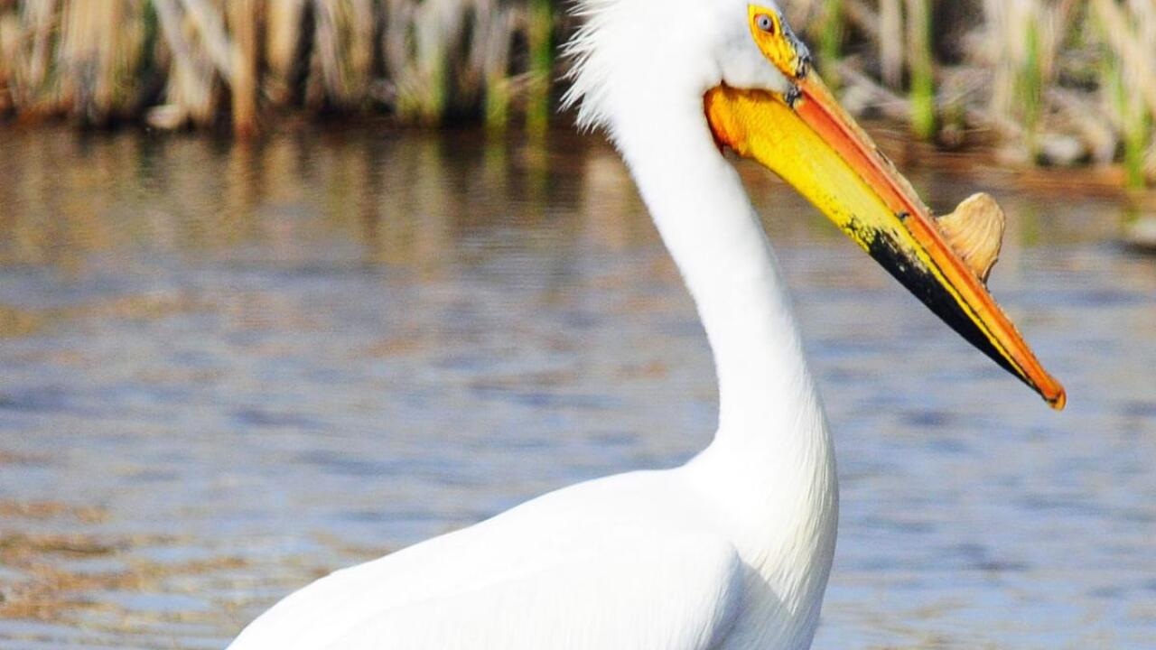pelican.jpg