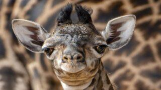 A New Baby Giraffe Was Just Born At Disney's Animal Kingdom