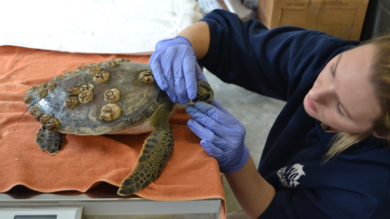North Carolina Aquarium prepares to help cold-stunned turtles