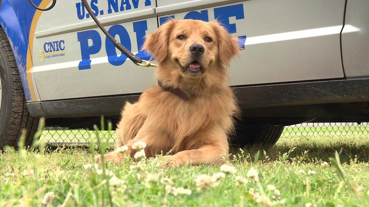 Meet Bud: The Navy's only golden retriever workingdog