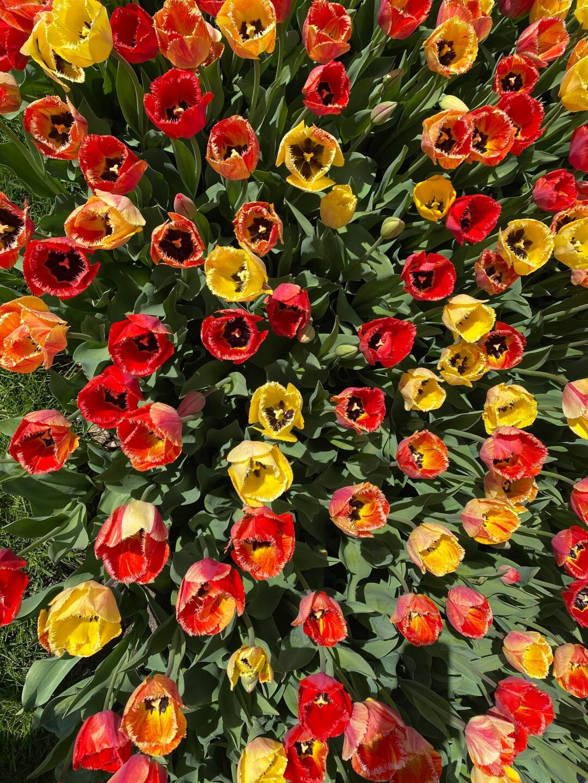 Tulips 4 - Courtesy Kim Reid Bos via Facebook.jpg