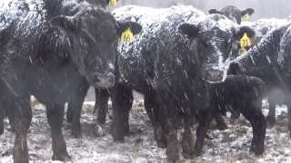 Montana Ag Network: Winter weather livestock loss may be covered by livestock indemnity program